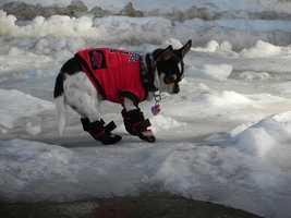 Razorback Snow Dog