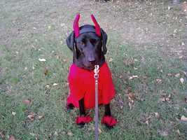 This is Nitro we dressed him as a razorback for the pet costume contest at atwoods