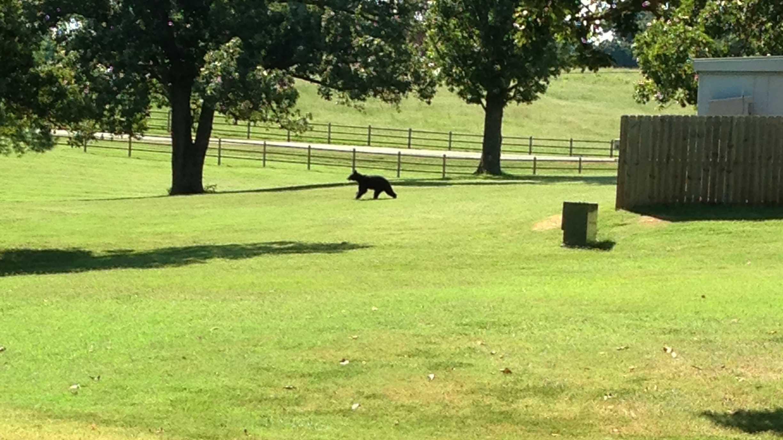 black bear tyson.jpg (1)
