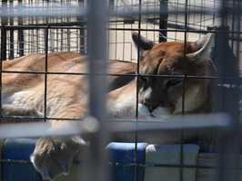 Mountain Lion- Turpentine Wildlife Refuge