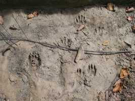 You can see what looks like a face underneath the center paw print.