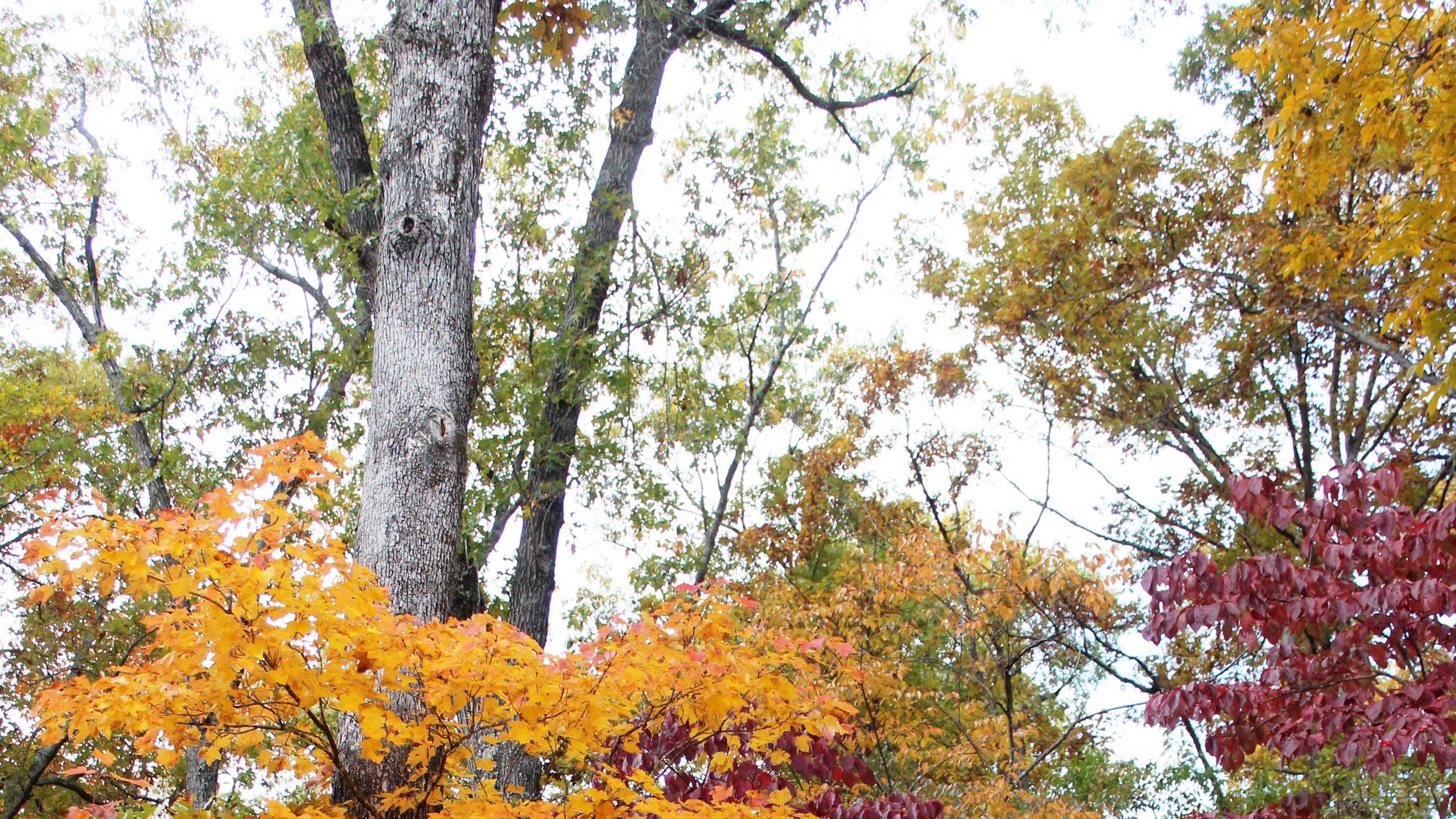 These beautiful trees were seen in Withrow Springs State Park near Huntsville October 28, 2013. Suella Bratton