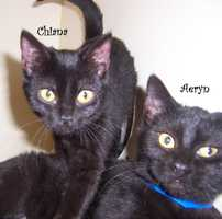 Chiana and Aeryn are two baby domestic short-hair kittens looking for a home.