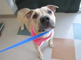 Daisy is an adult pit bull terrier