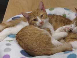 Flash is a young domestic orange & white short hair.