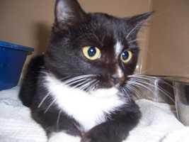 Gaiman is a cute Tuxedo kitten.