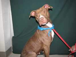 Nelly is an adult female pit bull terrier.