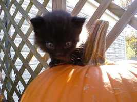 "By Tevans: Caught my little black kitty ""Midnight"" playing on the pumpkin."