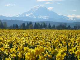 I was born and raised in Sumner, Washington, a small town about an hour's drive south of Seattle. This is the view of Mt. Rainier from my hometown, which is also known for growing daffodils.
