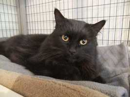 Domestic Medium Hair-black • Adult • Female • MediumHouse trained • Spayed/Neutered • Special needs • Current on vaccinationshttps://www.petfinder.com/petdetail/25104113