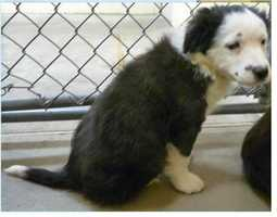 Border Collie • Baby • Male • MediumBlaine is only 8 weeks old and will be available for adoption on 1/18 if not reclaimed.https://www.petfinder.com/petdetail/34260282