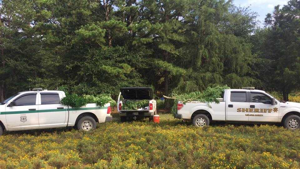 Three pickup trucks loaded with marijuana seized Wednesday.