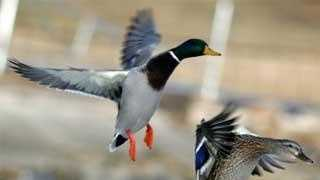 duck hunting - 24701034