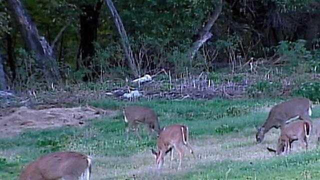 deer in field, several, generic - 14454070