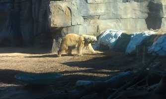 The Kansas City Zoo's new polar bear, Berlin, is on display at the Polar Bear Passage. Zoo officials they will alternate her on exhibit with the other polar bear, Nikita.
