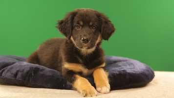 Name: AltheaBreed(s): Australian Shepherd/Catahoula MixSex: FemaleAge: 9 weeksFun Fact: Loves to play and snuggleAdoption Organization: Bonnie & Blue RescueWatch the Puppy Bowl on Sunday Feb. 3 at 3 p.m. ET/PT on Animal Planet (check your local listings)