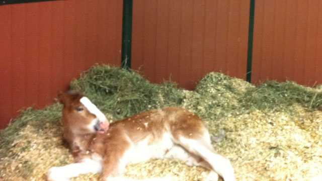 Image Clydesdale