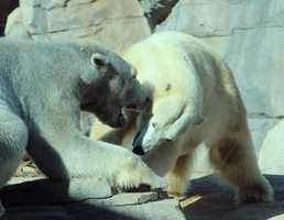 From the Kansas City Zoo: The Kansas City Zoo's two big white polar bears have met nose to nose, eye to eye and paw to paw. Nikita and Berlin are together in Polar Bear Passage under the close watch of Zoo Keepers, Veterinarians and other professionally trained staff.