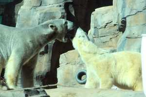 """From the Kansas City Zoo: """"HOWDY"""" sessions between the two polar bears were remarkably calm and uneventful. Today, Wednesday, February 6, both bears again had a visual connection. Then, they were placed side by side but still separated. When all staff was in agreement, the division between the bears was eliminated."""