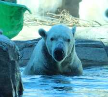 """From the Kansas City Zoo: As the two bears physically checked out each other, Zoo Keepers and Veterinarians were close by keeping a watchful eye. All interactions were as expected – sniffing, huffing, grunting and a bit of """"polar bear dancing""""."""