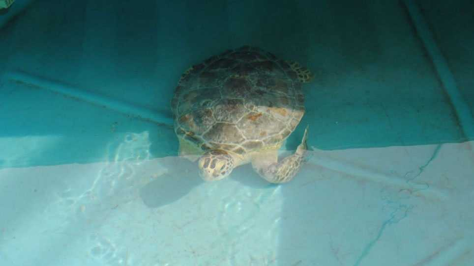 Sea turtle, Gertrude, Sea Life aquarium