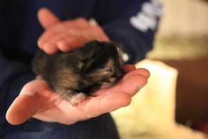 Images of a litter of kittens at the Kansas City, Mo., Mounted Patrol barn. The kittens are little over a week old, according to KCMO Police, and are starting to open their eyes. They are all being adopted and have been spoken for. Police say once they're weaned, their mom Winnie will stay at the stables, will get spayed, and will provide mousing services.