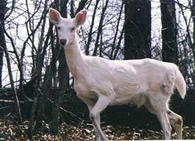 A Sugar Creek man snapped some pictures of a rare white deer on private land near Lake of the Ozarks in early April.