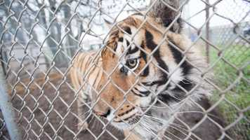 Nearly one dozen dangerous wild animals were removed from an Atchison, Kan., property after authorities discovered that the animals had been abandoned in their enclosures without access to food or clean water. The Atchison County Sheriff's Office seized the animals, which included a tiger, two cougars, three bobcats, two lynx, a serval and two skunks under the state Dangerous Regulated Animals Act and the animal cruelty code. The Humane Society of the United States, Big Cat Rescue, In-Sync Exotics and the Kansas City Zoo removed the animals from the property and transported them to sanctuaries around the country.