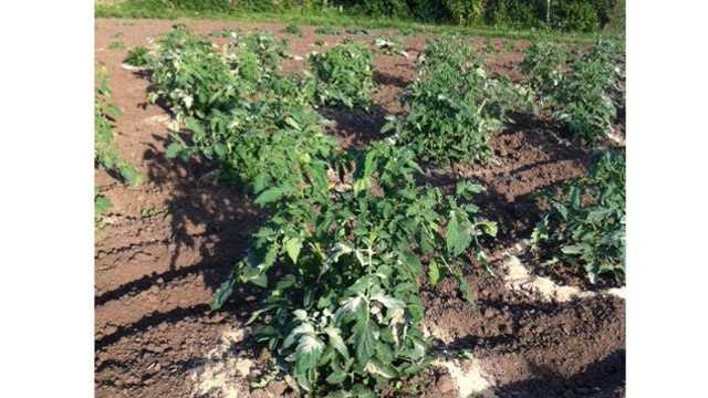 Image Larry's tomato plants