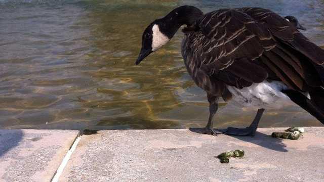 Image Goose poo 2