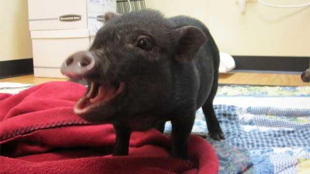 Image Merriam lost pig
