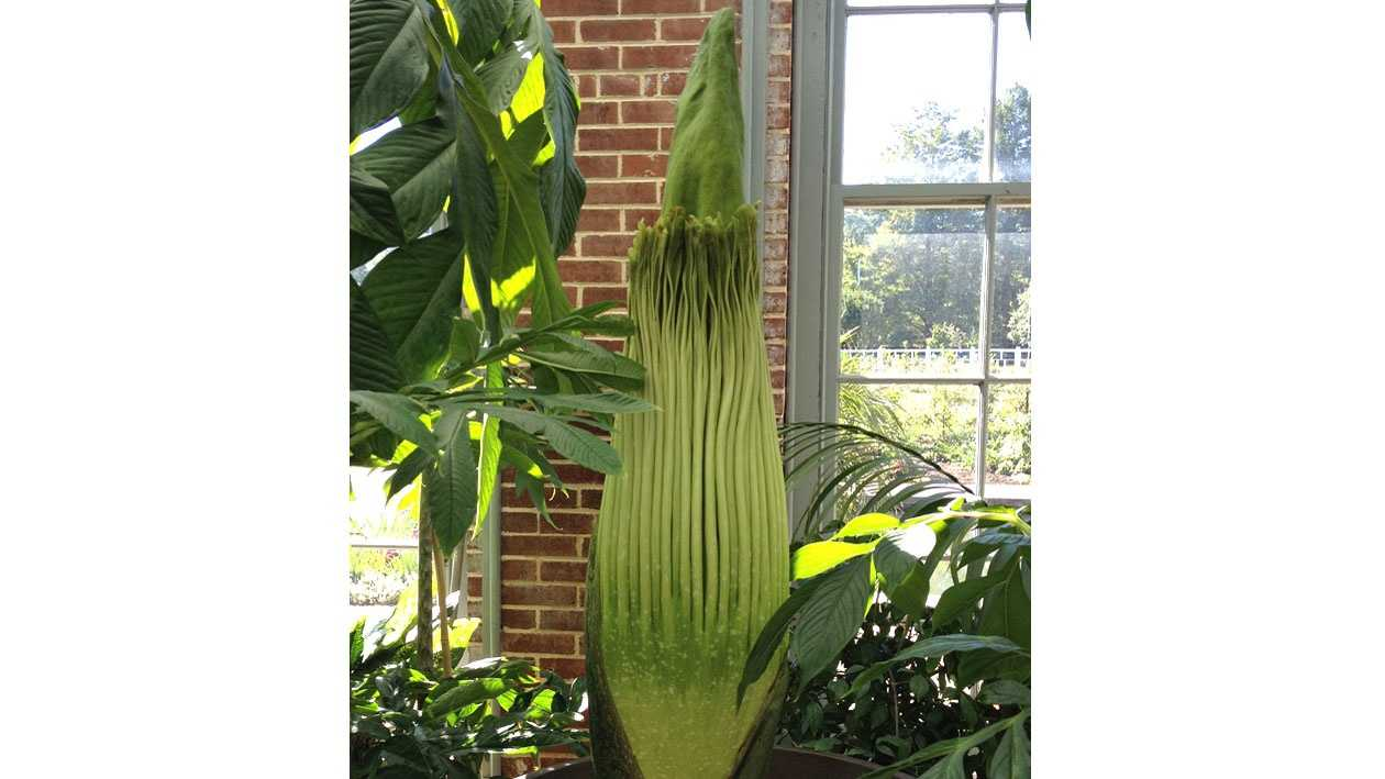 Corpse flower in St. Louis