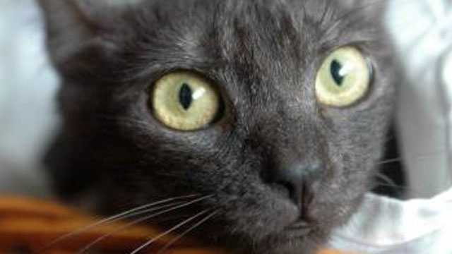 Image Cat from KC Pet Project