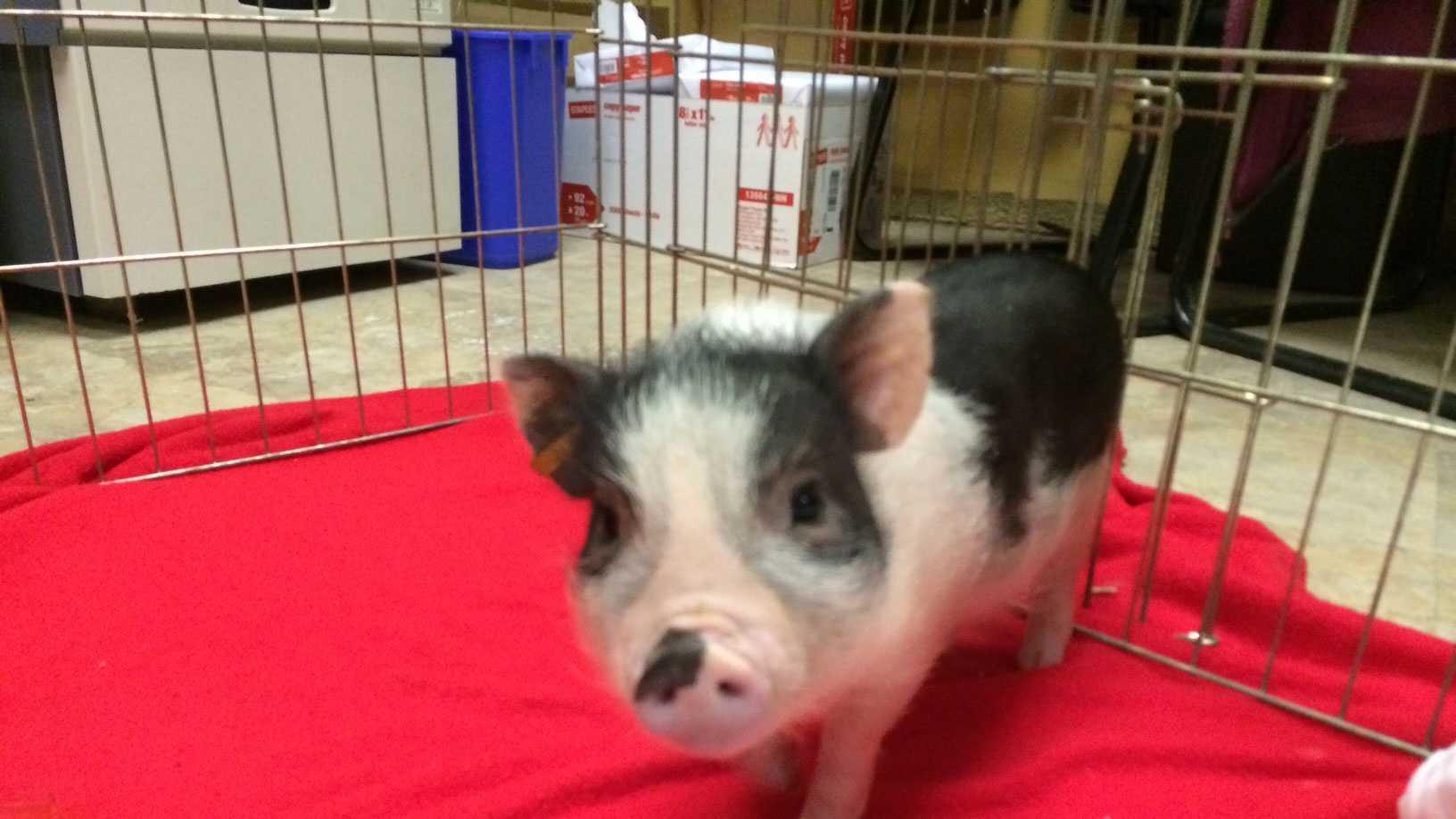 Pig found wandering