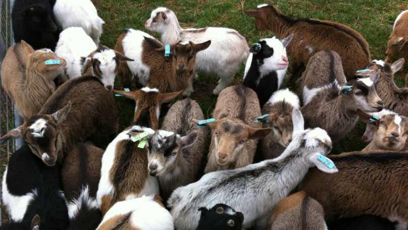 Image Deanna Rose goats