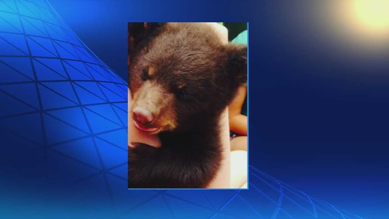 bear cub, Washington University