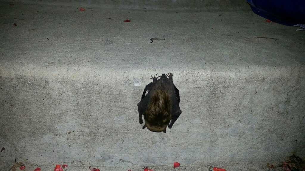 Lee's Summit rabid bat