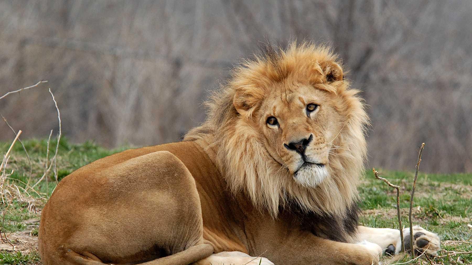 Dumisani, the Kansas City Zoo's oldest male lion dies