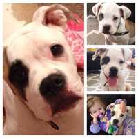 Ashlee Broege - This is Opie. He's our 5 month old 55 lb American Bulldog puppy