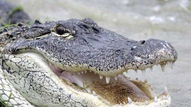 John Quincy Adams was given an alligator by the Marquis de Lafayette.