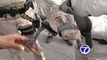 Authorities captured a baby alligator roaming the streets of southwest Albuquerque on Monday morning.
