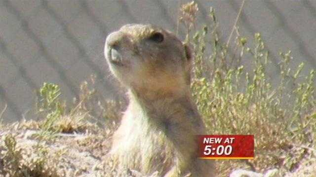 Someone is shooting Prairie Dogs.