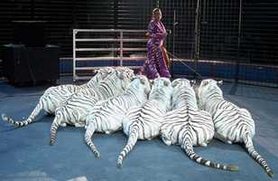 Daily: Page's White Tiger Show at the Creative Arts Parking Lot at 11:30 a.m., 2 p.m. and 4:30 p.m.