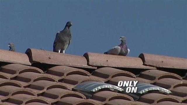 Pigeon ordinance proposed in Rio Rancho