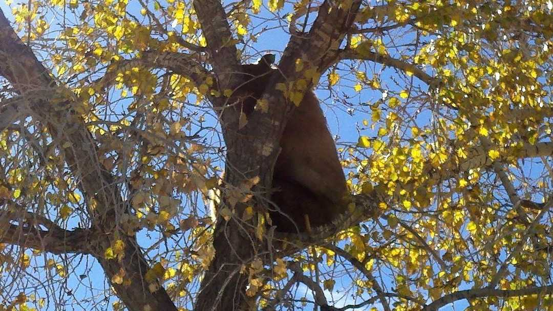 tree bear