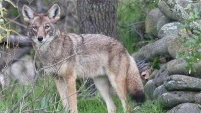 Coyote Hunt Back On