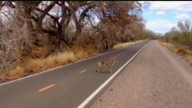 A KOAT staffer, riding the bike trail along the Bosque captures video of a pretty bold coyote, not even phased by onlookers.