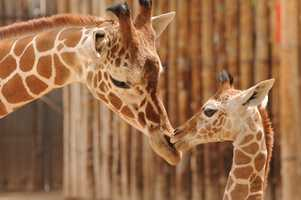 """Abiquiu, """"Abi,"""" is a reticulated giraffe who born at the ABQ BioPark on April 20, 2013."""