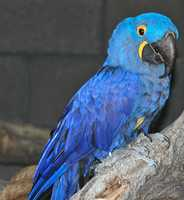 The beautiful Hyacinth Macaw has brilliant blue feathers and striking yellow markings around its eyes and beak.