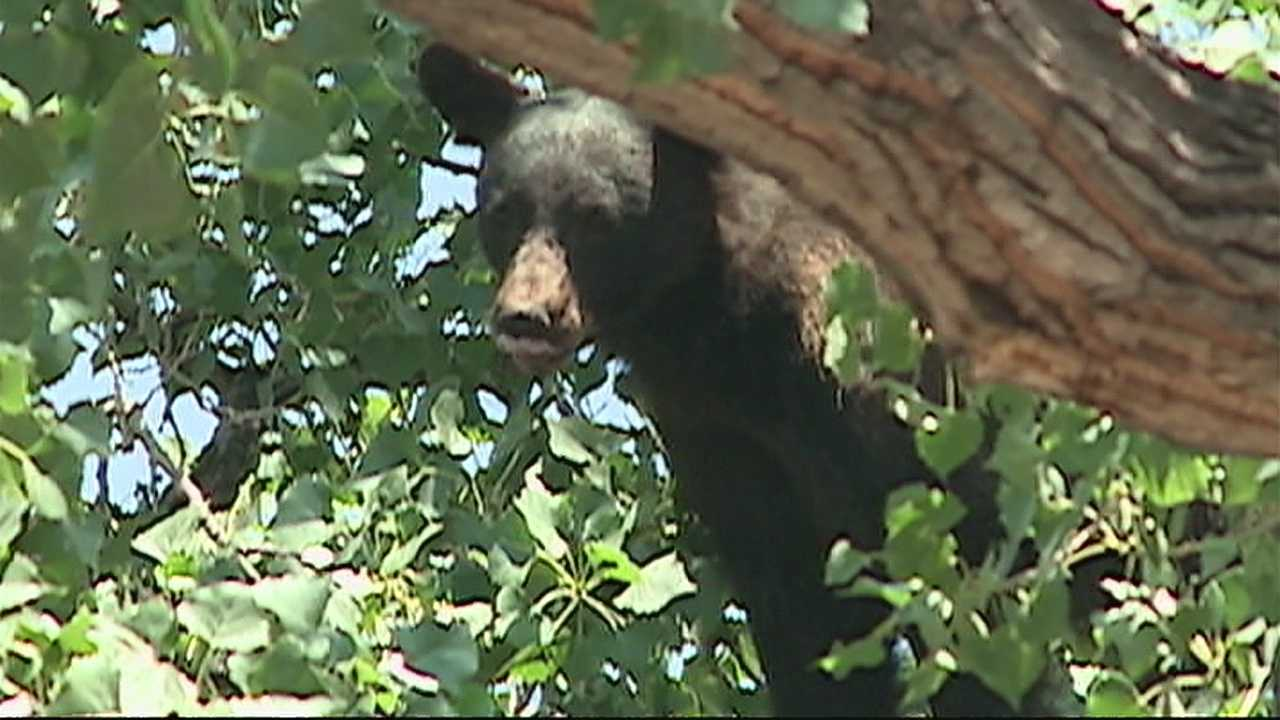 A 200-pound black bear, 50 feet up in a tree in the middle of a neighborhood.